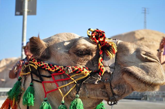 Bohemian camel. : ]